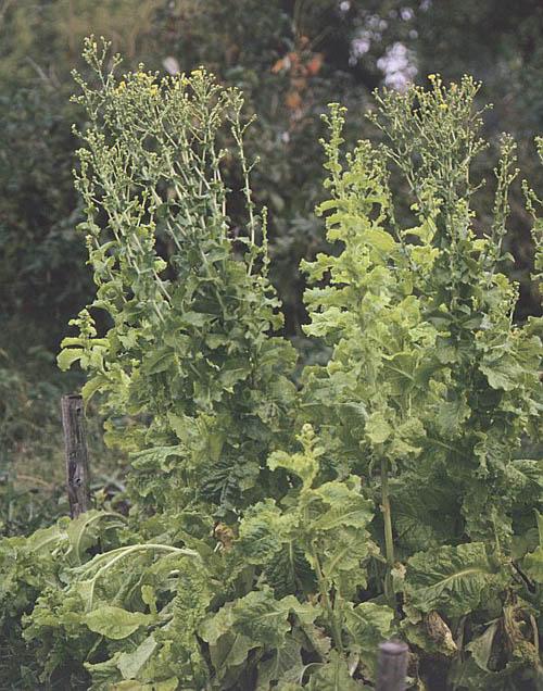 Mazatec Garden Esoteric Herbs